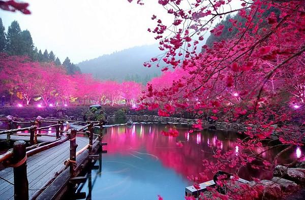Фото дня. Цветение сакуры. Япония