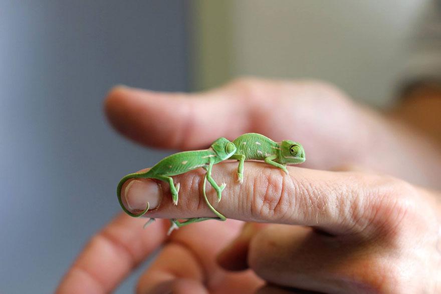 Эти 20крохотных хамелеонов— самое милое, что явидел запоследнее время
