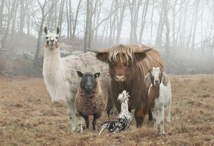 Фермерские животные позируют фотографу.