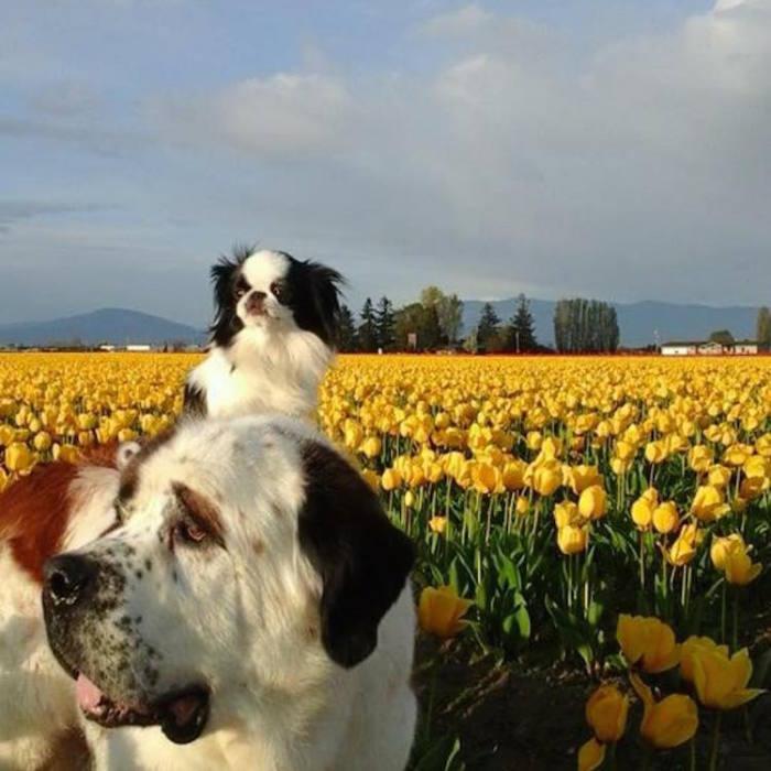 Приятели на фоне огромного количества желтых тюльпанов.