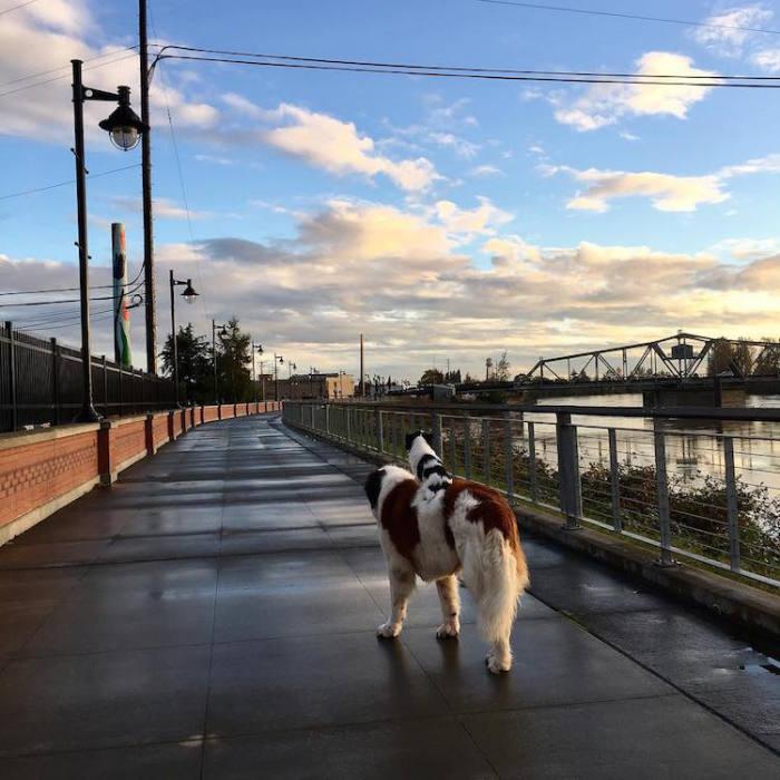 Собаки совершают каждодневные прогулки по городу.