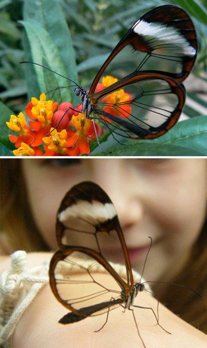 Благодаря прозрачным крыльям бабочка получила название «Стекляння»