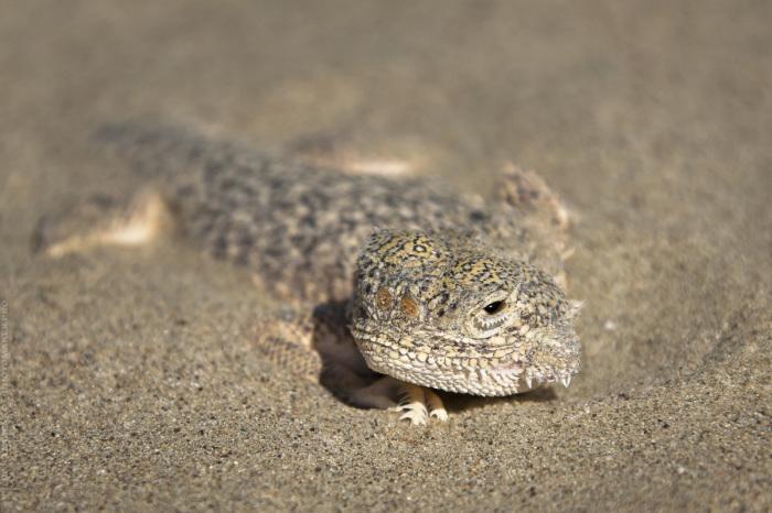 Один из обитателей пустыни Мангистау. / Фото: Юля Назаренко.