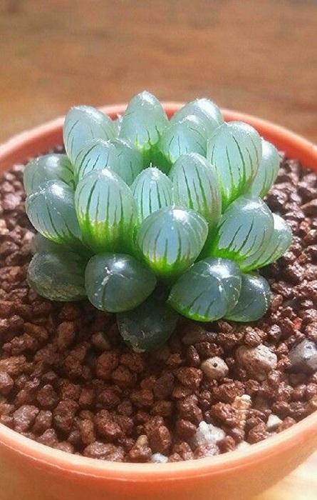 Комнатное растение с толстыми, мясистыми листьями, которые запасаются водой на долгий период жары и засухи.