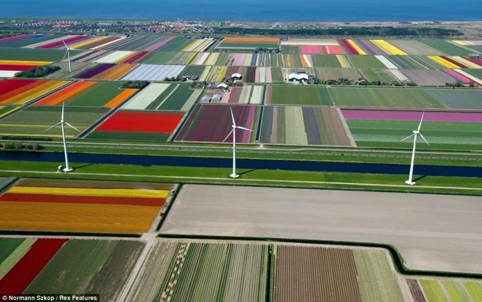 Поля тюльпанов в Нидерландах.